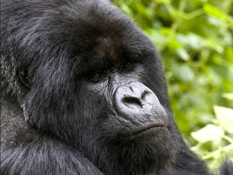 Gorilla-Face-800×600