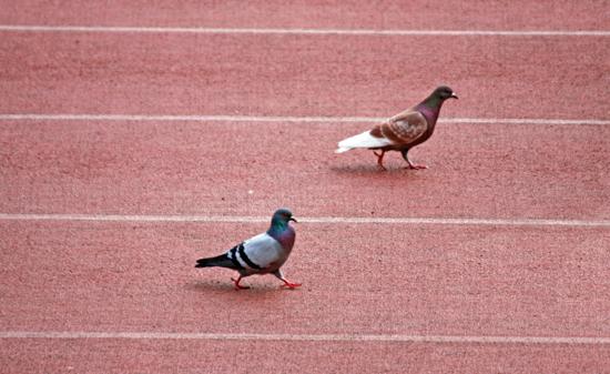 pigeon-550