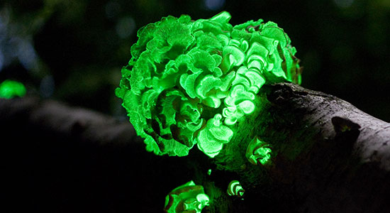 glowing-mushrooms-foxfire