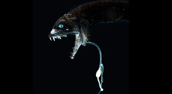 Loosejaw Dragonfish